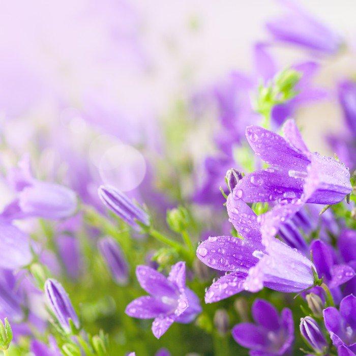 Little purple campanula flowers Wall Mural - Vinyl * Pixers * We live to change