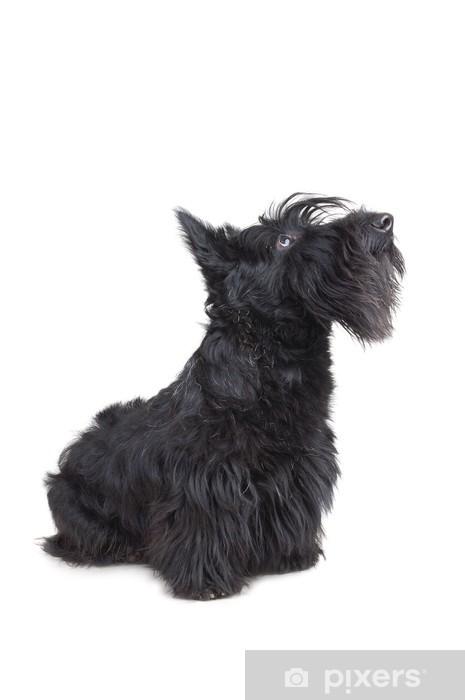 İskoç Terrier
