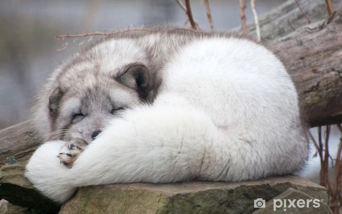 Fotomural Dormido zorro ártico en roca • Pixers® - Vivimos para cambiar