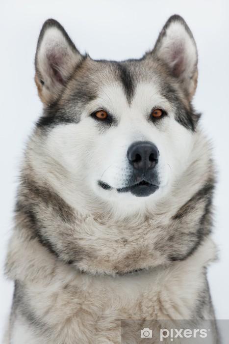 Fotomural Malamute de Alaska que se sienta y que mira en la ...
