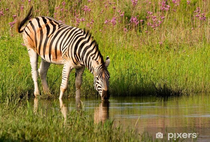Vinylová fototapeta Burchells Zebra má krásný odpolední pití - Vinylová fototapeta