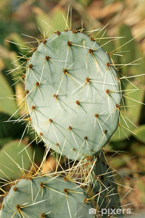 Vinylová fototapeta Opuntia robusta (opuncie) - Vinylová fototapeta