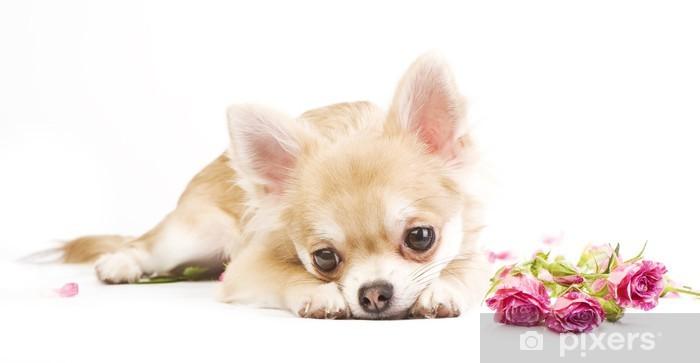 Vinylová fototapeta Rozkošný čivava štěně s růžemi - Vinylová fototapeta