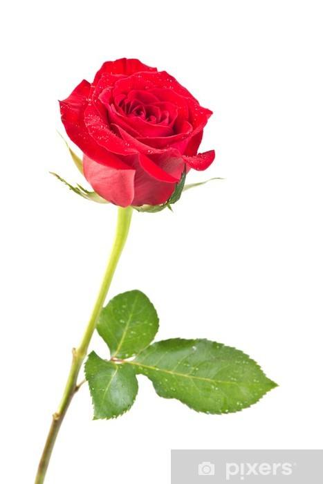 Vinylová fototapeta Růže izolované - Vinylová fototapeta