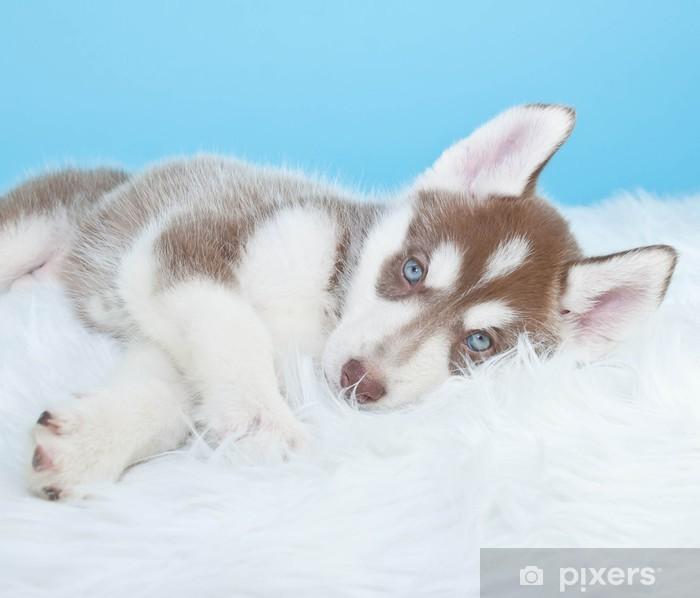 Vinylová fototapeta Sleepy Husky Puppy - Vinylová fototapeta