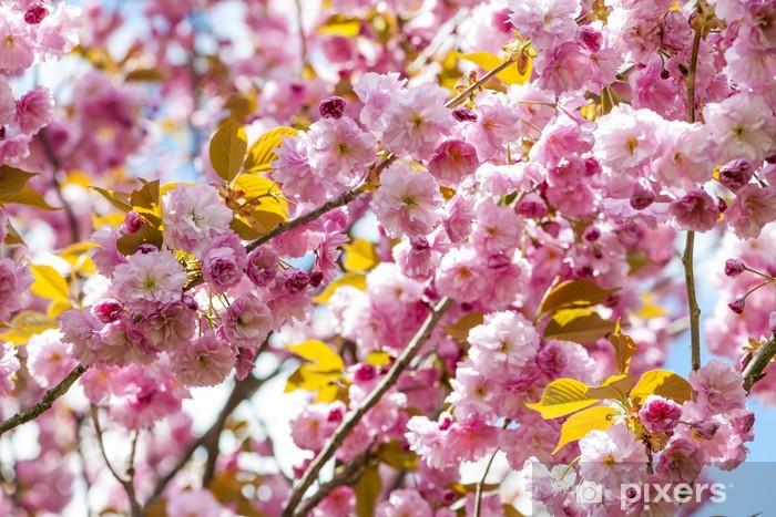 Vinylová fototapeta Třešňové květy na jaře třešní větví - Vinylová fototapeta