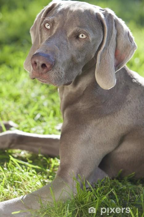 Chien Peint papier peint chien braque de weimar s'étendant sur l'herbe en soleil