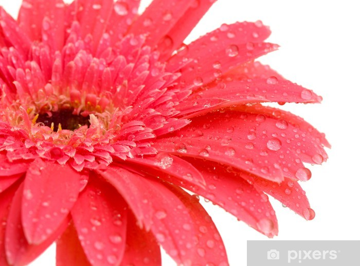 beautiful gerbera flower isolated on white Vinyl Wall Mural - Flowers