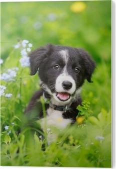 Border Collies Black Puppy