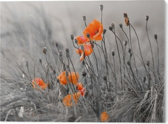 Poppies against a gray background Acrylic Print