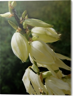 White flowers of yucca tropical plant close up wall mural pixers white flowers of yucca tropical plant close up wall mural pixers we live to change mightylinksfo