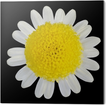 Yellow flower with white petals isolated on black wall mural yellow flower with white petals isolated on black wall mural pixers we live to change mightylinksfo
