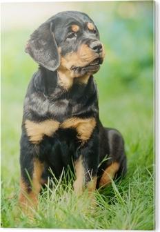 Afholte Rottweiler hvalp på et græs Fotolærred • Pixers® - Vi lever for IM-26