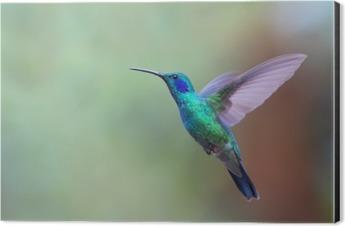 Green violetear hummingbird in flight in Costa Rica Aluminium Print (Dibond)