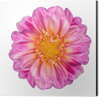 Pink white dahlia flower with yellow center isolated wall mural pink white dahlia flower with yellow center isolated aluminium print dibond mightylinksfo