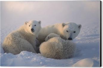 Polar bears,female cub is nursing . Canadian Arctic Aluminium Print (Dibond)