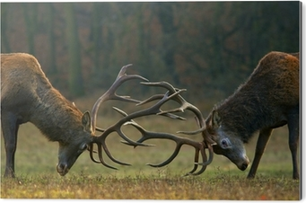 Red deer fight Aluminium Print (Dibond)