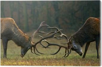 Red deer fight Aluminium Print (Dibond)
