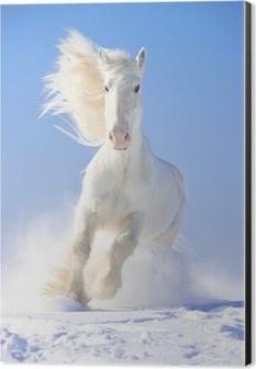 White horse stallion runs gallop in front focus Aluminium Print (Dibond)