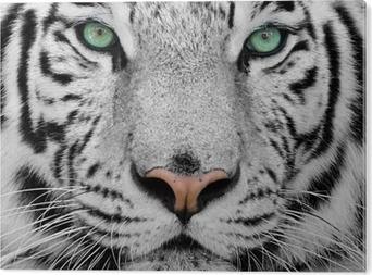 Hvid tiger Aluminium Tryk (Dibond)