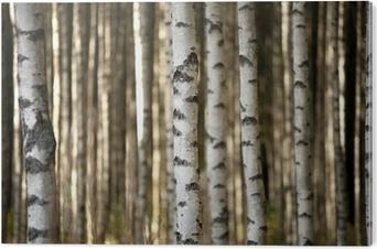 Trunker af birketræer Aluminium Tryk (Dibond)