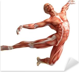 Pixerstick Aufkleber Anatomie, Muskulaturp