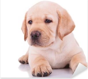 Pixerstick Aufkleber Weißen Labrador Retriever Welpe Hund