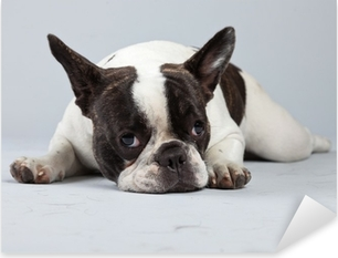Autocolante Pixerstick French bulldog black and white isolated against grey background.