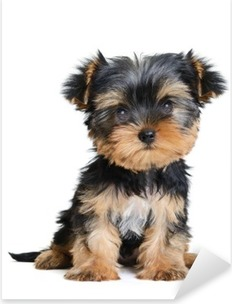 Autocolante Pixerstick yorkshire terrier