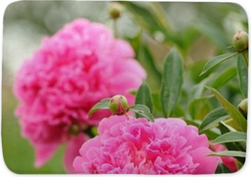 Blooming peony bush with large pink flowers wall mural pixers blooming peony bush with large pink flowers wall mural pixers we live to change mightylinksfo