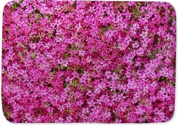 Groundcover with hot pink flowers as background wall mural pixers groundcover with hot pink flowers as background wall mural pixers we live to change mightylinksfo