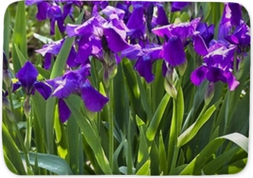 Violet Iris Flowers On Flowerbed Poster Pixers We Live To Change