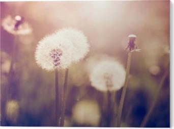 Bild auf Acrylglas Pusteblumen auf einer Wiese, Vintage-Stil