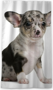 Blue Merle Chihuahua Puppy 8 Weeks Old Sitting Sticker Pixers