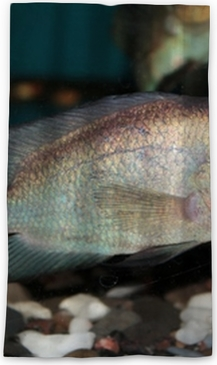 Thai Silk Flowerhorn Cichlid aquarium fish
