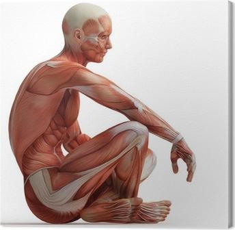 Canvas Anatomie, spieren