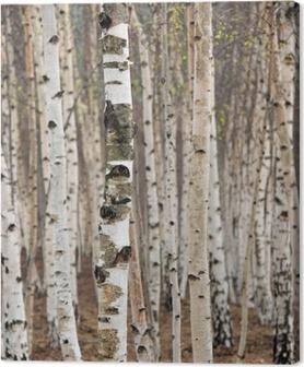 Canvas Berken bomen in het voorjaar