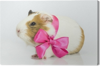 Canvas Cavia in een gift.