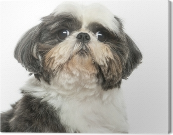 Canvas Close up van een Shi Tzu, geïsoleerd op wit