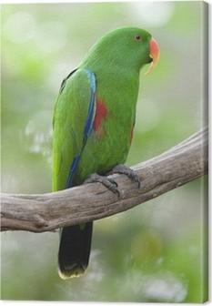 Canvas Eclectuspapegaai mannelijke groene vogel, indonesië