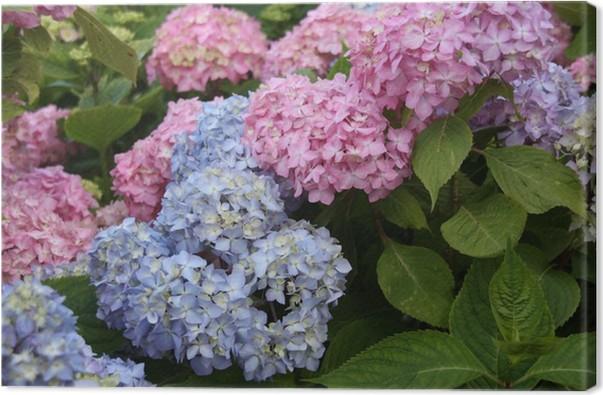 Canvas Hortensia Bleu Rose Hosting Zoom Belle Fleur Dehors Fondsen