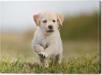 Canvas Jumping golden retriever puppy