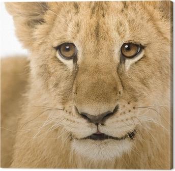 Canvas Lion Cub (4 maanden)