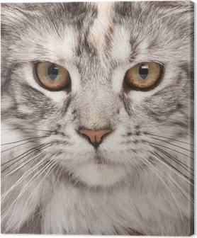 Canvas Maine-coon close-up portret