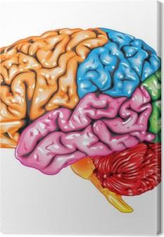Canvas Menselijk brein zijaanzicht