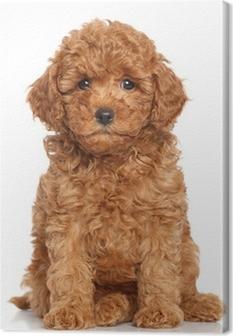 Canvas Miniatuur Poedel Puppy