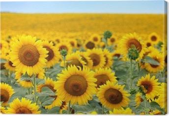 Canvas Mooie zonnebloem veld