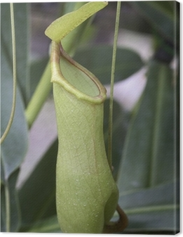 Canvas Nepenthes gracilis (Plante carnivoor)