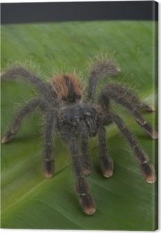 Canvas Pinktoe tarantula / Avicularia avicularia