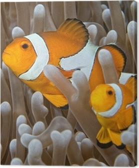 Canvas premium Clown vis, terwijl op zoek naar jou van anemoon